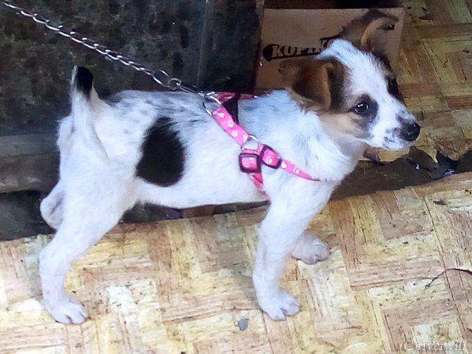 わんこ フィリピン バナウェ Dogs Philippines