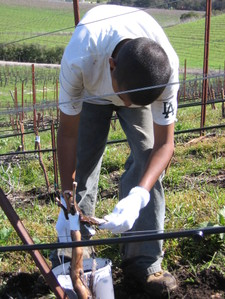 grafting a grape vine