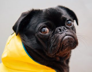 A black pug in a yellow raincoat looking grumpy