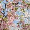 葉桜季節時期はいつからいつまで
