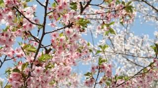 八重桜種類開花時期特徴品種は?花言葉と意味