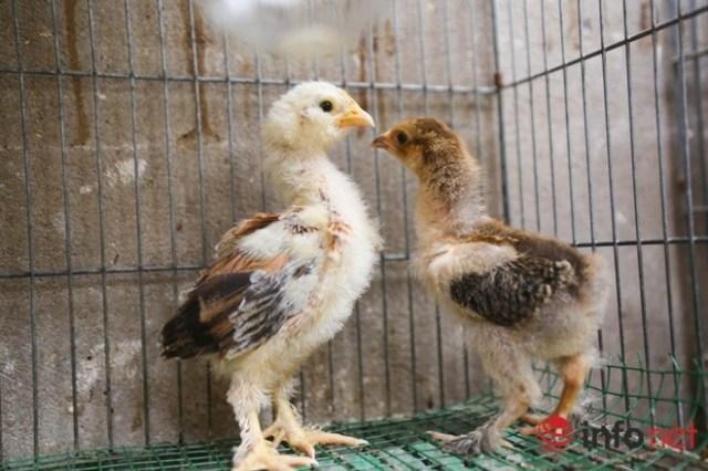 Gà con khi mới nở đã có lông dưới dân, khỏe mạnh và lớn nhanh. Gà con được bán với trung bình 1 triệu/con.