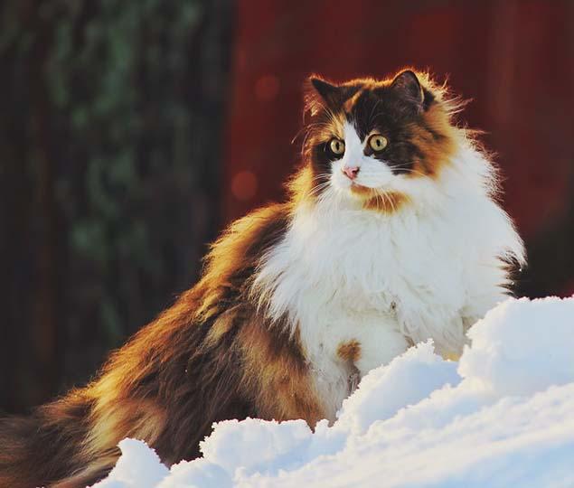 1-norwegian-forest-cat