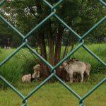 立飛のヤギの雨宿り
