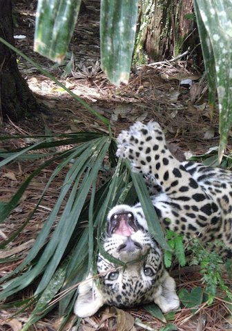 Baby jaguar at the Belize zoo