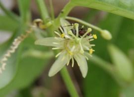 Corkystem Passionflower (Passiflora suberosa)