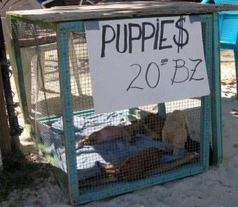 Ambergris caye belize animal shelter