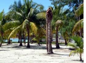 coconut disease