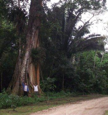 belize tree