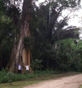 belize tree
