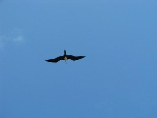 Frigate bird belize wildlife pictures