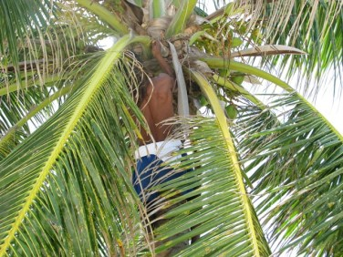 coconut tree picture