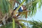 oconut tree climbing north ambergris caye belize