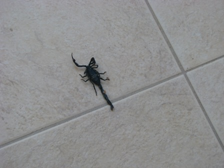 belize scorpion