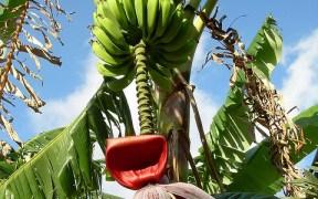planting banana trees