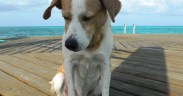 belize dog