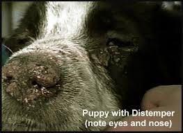Canine Distemper Virus Outbreak in San Mateo