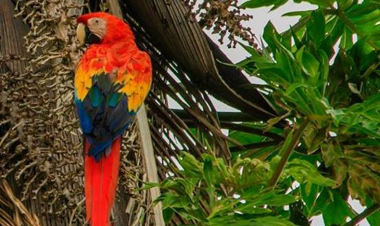 Helping Roni Martinez Protect the Scarlet Macaw