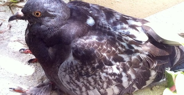 Teamwork by Belize Bird Rescue and ACES