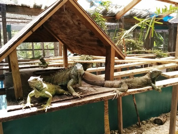 Iguana Conservation Project