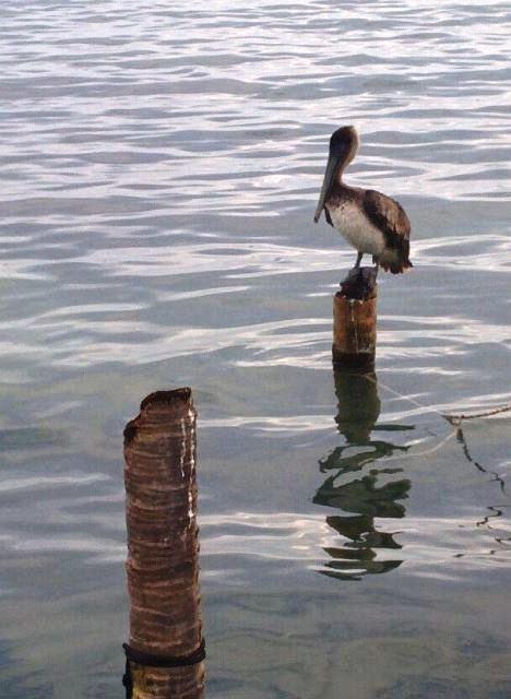 Pelican San Pedro Belize