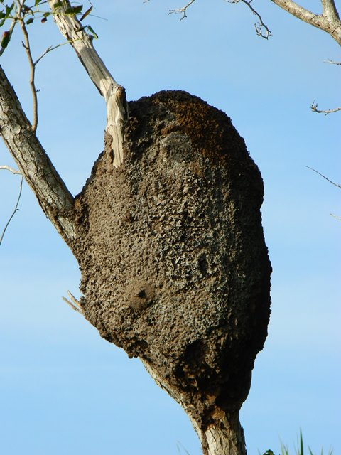 Termites nest Belize