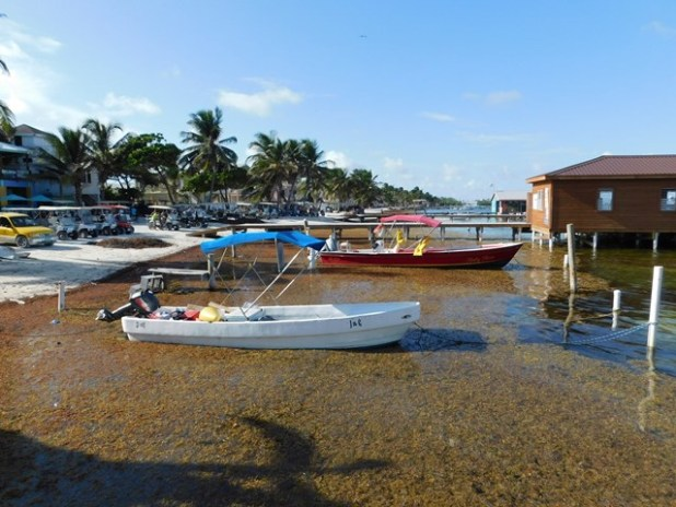 Sargassum in Belize