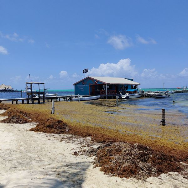 sargasso on beach walk ambergris caye