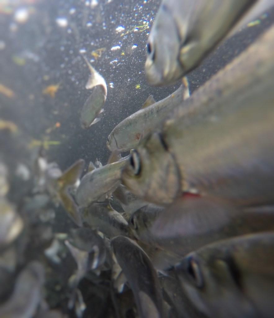 herring school