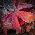 Frost and Foliage
