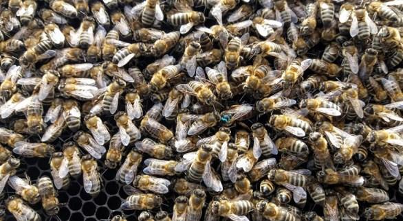 unificare-familii-albine-pentru-iarna