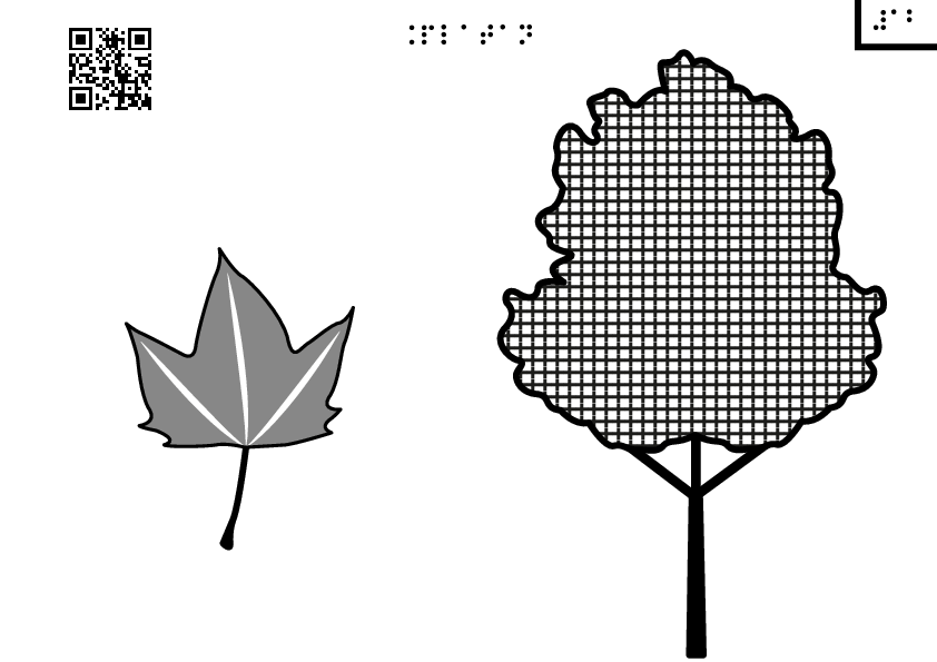 platanus plane tree