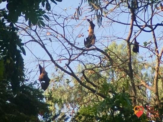 Bangalore Running & Walking Tours-Bats of Bugle Park