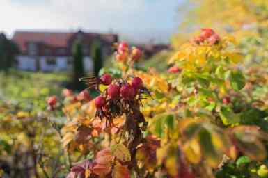 Herbststimmung Hagebutten