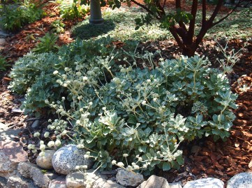 Eriogonum latifolium-Coast Buckwheat is attractive to pollinators.