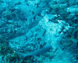 Sharks in Rangiroa at Tiputa Pass