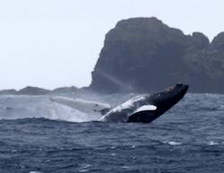 Whale breaching near Raoul Island