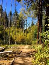 Quaking Aspen at Spooner