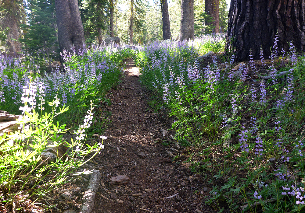 13-Lupine Along the Tahoe Rim Trail