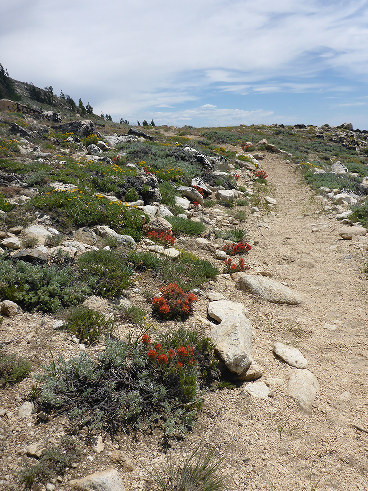 46-Paintbrush Along the Tahoe Rim Trail