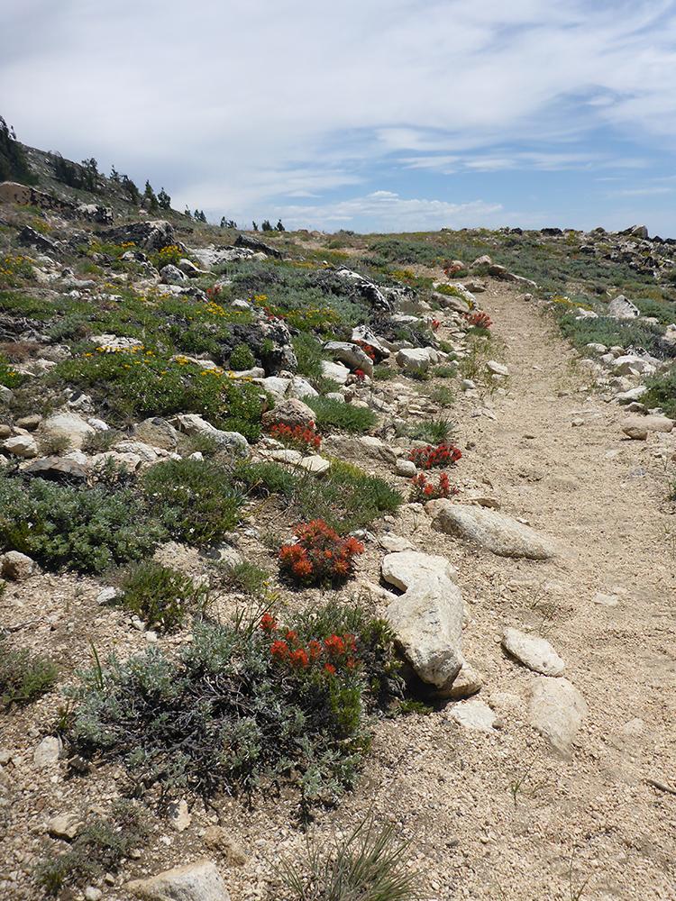 46-Paintbrush Along the Tahoe Rim Trail