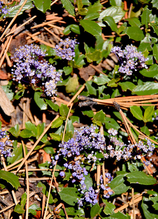 Mahala Mat. Photo of the Sierra Nevada wildflower taken by Jared Manninen on May 16, 2016, at Washoe Meadows State Park.