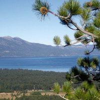 Jeffrey Pine (Pinus jeffreyi)