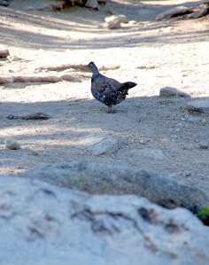 24 - Sooty Grouse Playing Coy