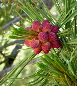 36 - Whitebark Pine Tree Needles and Buds