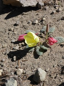 38 - Woody-Fruited Evening Primrose Flourishing in the Arid Soil