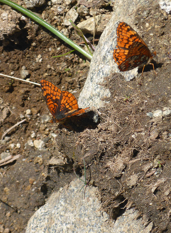 3 - Monarch Butterflies Flitting About the Moist Ground