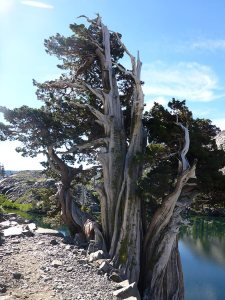 6- Gnarled Juniper Tree Shielding Heather Lake