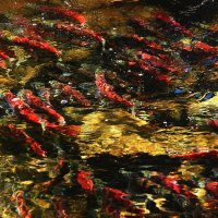 Kokanee Salmon at Taylor Creek