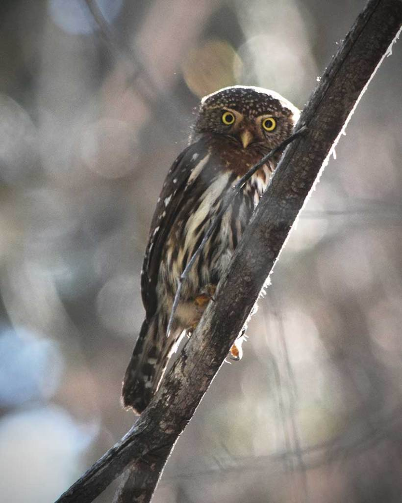 Northern Pygmy-Owl perched on a tree branch staring at the camera
